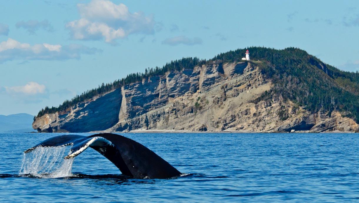 Queue-de-baleine-à-Cap-Gaspé-dans-le-parc-national-Forillon©-Le-Québec-maritime-Marc-Loiselle
